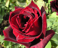 très belle rose rouge