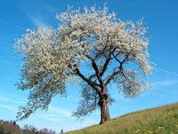 Arbre fruitier (cerisier)